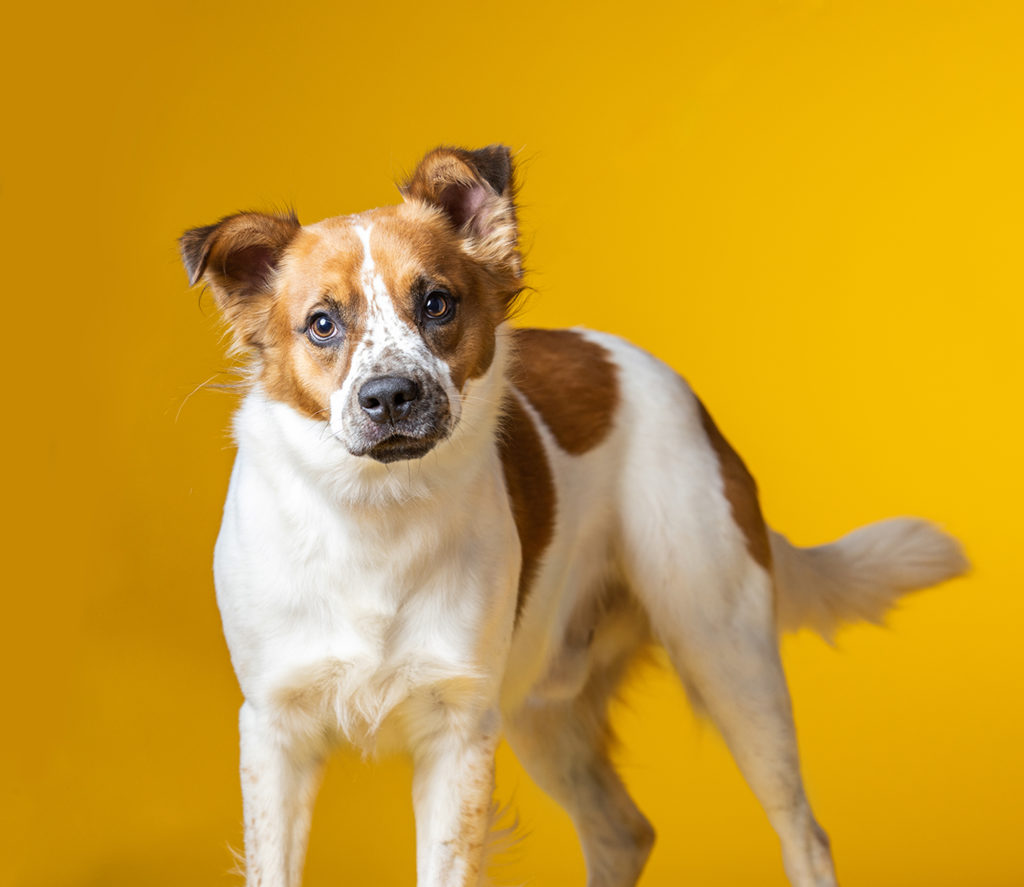 White and brown mixed breed dog looking at you on a yellow background.