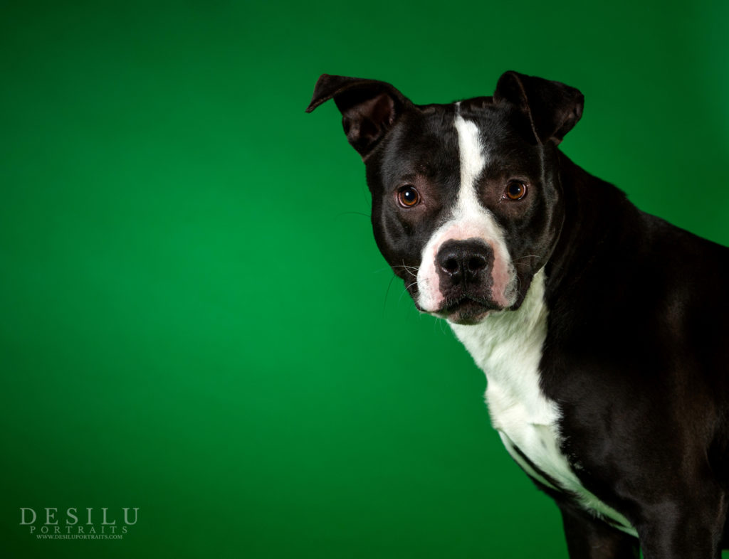 Black and white mixed breed dog with one hear up and one hear down looking at you.