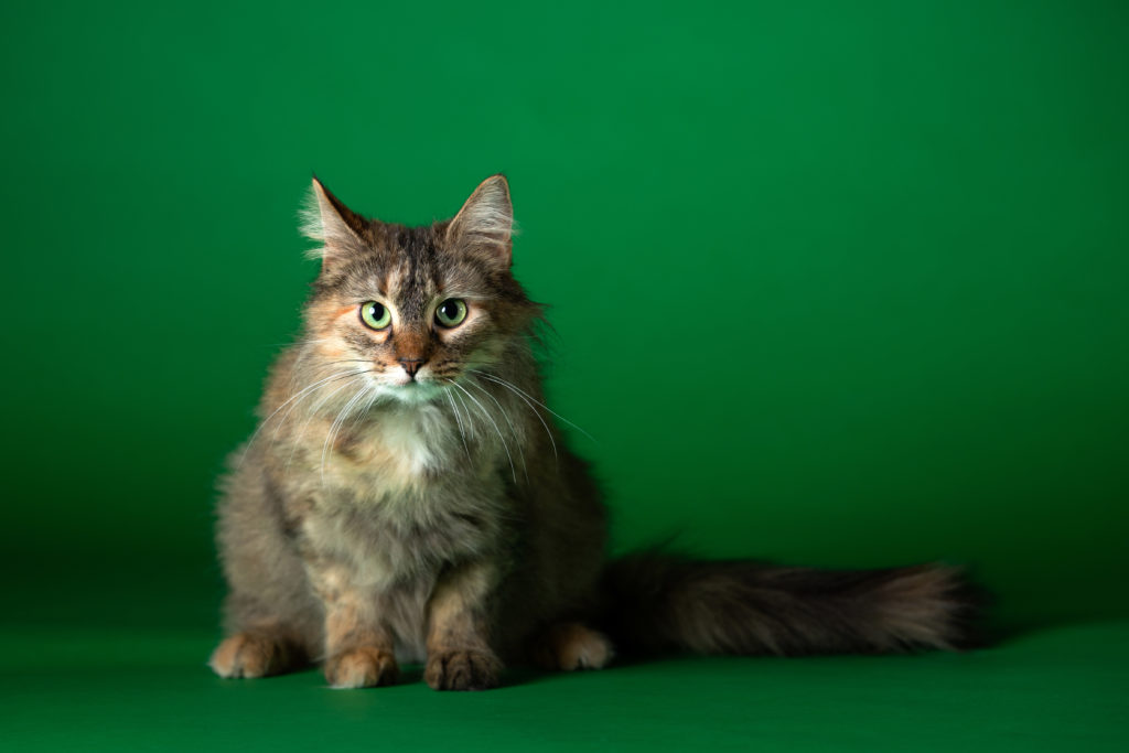 Long haired calico cat with green eyes looking at you.