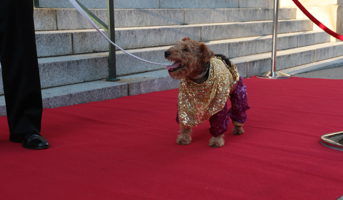 small dog dressed up walking the red carpet