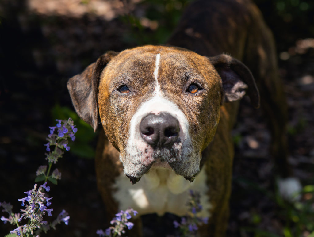 Large brindle dog by purple flowers