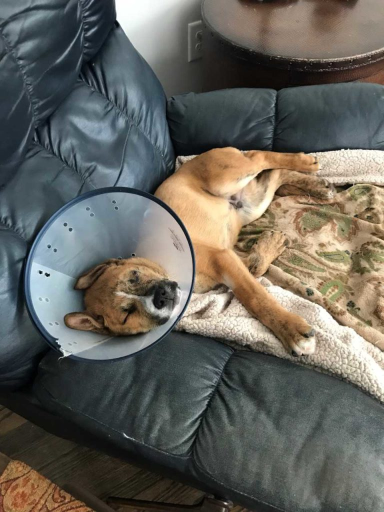 Large pitbull laying on recliner recovering from surgery
